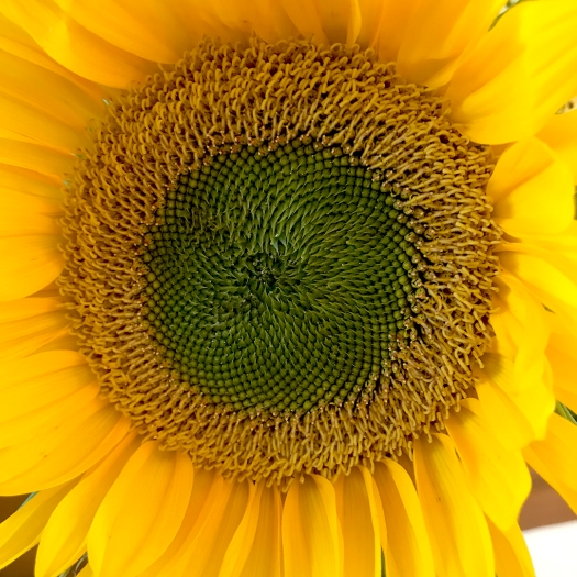 sunflower-heart